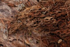 La textura del pino es comida por los gusanos de madera Imagen de archivo libre de regalías