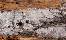 La textura del pino es comida por los gusanos de madera Foto de archivo libre de regalías