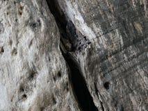 La textura del rompió el árbol gigante viejo de la forma de la corteza Imagenes de archivo