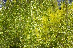 La textura hecha de abedul verde deja imagen entonada Foto de archivo libre de regalías