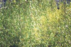 La textura hecha de abedul verde deja imagen entonada Fotografía de archivo libre de regalías
