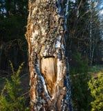La textura original del tronco de árbol Foto de archivo