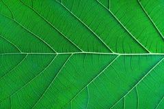 La textura verde rica de la hoja de la luz del borde considera a través la estructura de la vena de la simetría, concepto hermoso fotografía de archivo