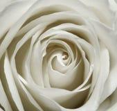 La texture blanche de pétales de rose, se ferment  Image libre de droits