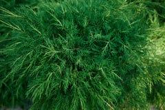 La texture d'un genévrier, cyprès Fond vert juteux frais d'eco Images libres de droits