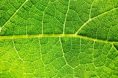 La texture d'une feuille de raisin, le plus petit réseau des veines de alimentation est semblable à l'appareil circulatoire et à  image libre de droits