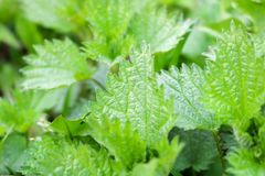 La texture d'une usine, ortie fraîche verte part sur un fond d'herbe, fin images libres de droits