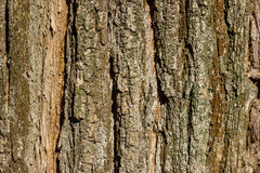 La texture de l'écorce Photos libres de droits