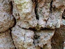 La texture de l'écorce de bouleau très vieille images stock