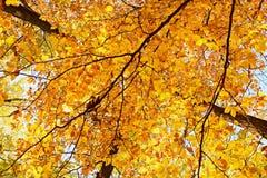 La texture de l'automne a coloré des feuilles de hêtre sur des arbres Photographie stock