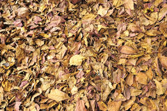 La texture de la chute brune sèche part sur le plancher, fond de nature Photographie stock libre de droits