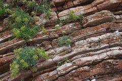 La texture de la roche rouge avec l'élevage plante le plan rapproché Images stock