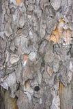 La texture de sèchent l'écorce sur des conseils avec des clous Arbre de pin Photos libres de droits