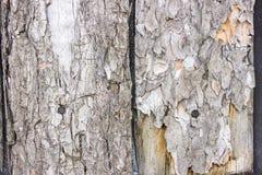 La texture de sèchent l'écorce sur des conseils avec des clous Arbre de pin Photo stock