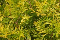 La texture des brindilles de l'arbre de Cypress photographie stock libre de droits