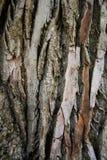La texture du bouleau Image stock