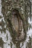 La texture du bouleau d'écorce d'arbre est endommagée Image libre de droits