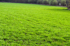 La texture du champ d'herbe verte Image stock