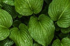 La texture du hosta part dans les baisses après la pluie image libre de droits