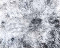 La texture du loup blanc de fourrure Photos libres de droits