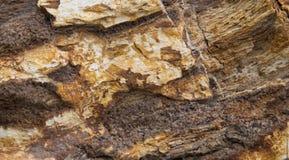 La texture en bois pétrifié dans le brun et se bronzent Photo stock