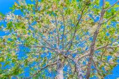 La texture extérieure de l'alatus de Dipterocarpus, Shorea, Meranti blanc, Dipterocarpaceae, fruit avec le fond de nuage de ciel  Images stock