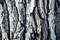 La texture peinte de l'écorce d'arbre Image libre de droits