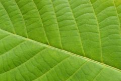 La texture veiny de feuille verte s'est ferm?e  photos stock