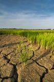 La tierra árida en el campo de arroz Imagen de archivo libre de regalías