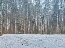La tierra del bosque del invierno del abedul se cubre con nieve Día de invierno frío Fotografía de archivo libre de regalías