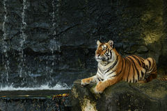 La tigre Fotografie Stock