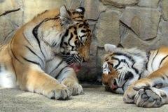 La tigre Fotografia Stock Libera da Diritti