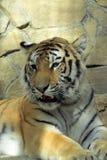 La tigre 2 Immagini Stock Libere da Diritti