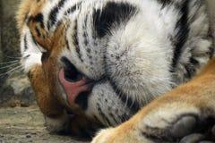 La tigre 3 Fotografia Stock