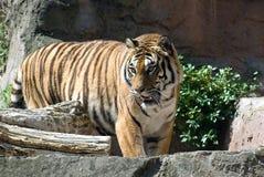 La tigre Immagini Stock Libere da Diritti