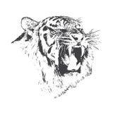 La tigre arrabbiata sta ringhiando Fotografia Stock Libera da Diritti