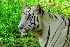 La tigre bianca immagine stock