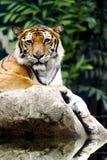 La tigre che si siede sulla roccia. Fotografie Stock Libere da Diritti