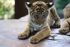 La tigre cinese è un gatto pericoloso, molto feroce fotografia stock libera da diritti