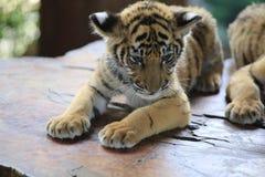 La tigre cinese è un gatto pericoloso, molto feroce fotografie stock libere da diritti