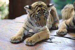 La tigre cinese è un gatto pericoloso, molto feroce immagine stock
