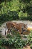La tigre cinese è un gatto pericoloso, molto feroce immagine stock libera da diritti