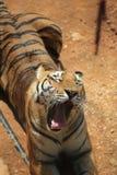 La tigre cinese è un gatto pericoloso, molto feroce immagini stock libere da diritti