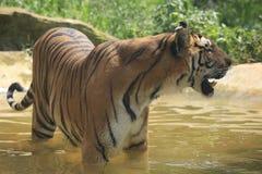 La tigre cinese ? un gatto pericoloso, molto feroce fotografia stock