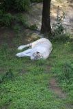 La tigre cinese ? un gatto pericoloso, molto feroce fotografia stock libera da diritti