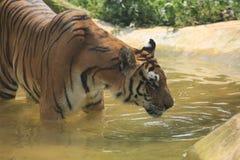 La tigre cinese ? un gatto pericoloso, molto feroce immagini stock libere da diritti