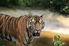 La tigre cinese ? un gatto pericoloso, molto feroce immagini stock