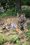 La tigre cinese ? un gatto pericoloso, molto feroce immagine stock