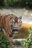 La tigre cinese ? un gatto pericoloso, molto feroce immagine stock libera da diritti