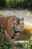 La tigre cinese ? un gatto pericoloso, molto feroce fotografie stock
